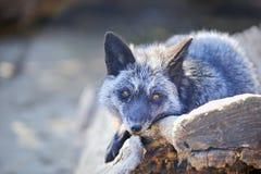 Polar fox Stock Image