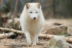Polar fox Stock Photos