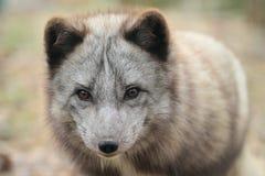 Polar fox Royalty Free Stock Photo