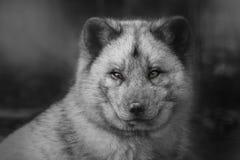 Polar fox royalty free stock images