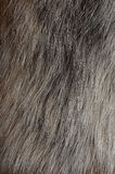 Polar fox fur texture Royalty Free Stock Photography