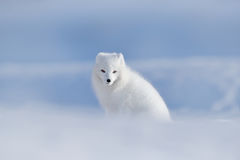 Polar fox in habitat, winter landscape, Svalbard, Norway. Beautiful animal in snow. Sitting white fox. Wildlife action scene from