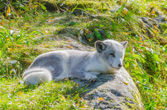 Polar fox sitting on a rock. Photographed in backlight royalty free stock image