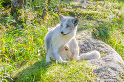Polar fox sitting on a rock. Photographed in backlight stock photography