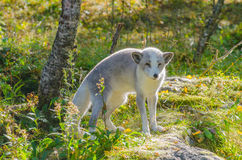 Polar fox standing on a rock. Photographed in backlight royalty free stock photography