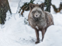 Polar fox. Stands in the snow and looks at the camera Royalty Free Stock Photos