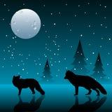 Polar foxes Royalty Free Stock Photo
