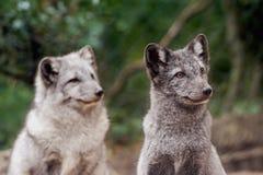 Polar foxes Royalty Free Stock Image