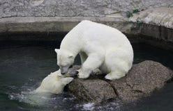 Polar hon-björn med gröngölingen Royaltyfria Foton