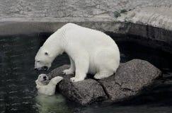 Polar hon-björn med gröngölingen Fotografering för Bildbyråer