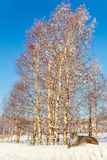 Polar lynx in the aspen grove. Polar lynx in a snowdrift in the aspen grove. Journey to Santa Claus. Bright frosty winter day. Concept of active and ecological Stock Image