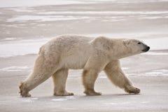 Polar oso hacia fuera para un paseo del invierno Foto de archivo libre de regalías