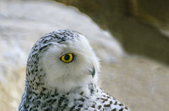 Polar owl Royalty Free Stock Photography