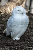 Polar owl Royalty Free Stock Photos