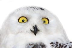 Polar owl isolated portrait Stock Photos