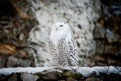 Polar owl male closeup. The Polar owl male closeup Royalty Free Stock Images