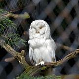 Polar owl male closeup, Poland Royalty Free Stock Images