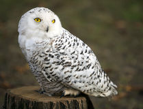 Polar owl male closeup shot. Royalty Free Stock Image