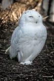 Polar owl Stock Image