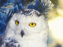 Polar owl portrait with natural background Royalty Free Stock Image