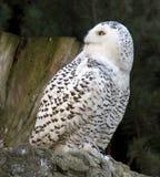 Polar owl Royalty Free Stock Images