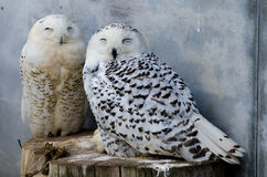 Polar owls. Two polar owls in the Zoo Stock Photos