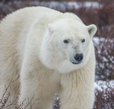 Polar Portrait Stock Image