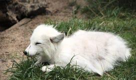 polar räv Arkivbild