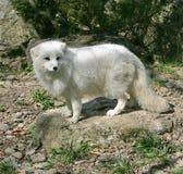 Polar räv 3 Royaltyfri Fotografi