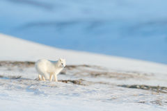 Polar räv i livsmiljön, vinterlandskap, Svalbard, Norge Härligt djur i snö Rinnande räv Djurlivhandlingplats från naturen royaltyfria bilder