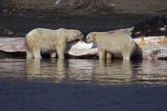Polar refiere lavado encima de ballena de esperma Fotos de archivo