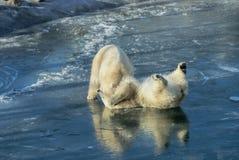 Polar refiere lavado encima de ballena de esperma Fotografía de archivo