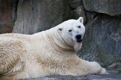 polar rock för björn Arkivfoto
