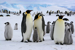 Polar scene from Antarctic. Emperor penguins (Weddell sea colony Stock Photo