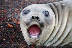 Polar seal. In the Antarctica Peninsula Royalty Free Stock Photography