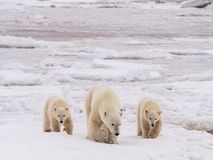 Polar She-bear With Cubs. Stock Image