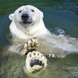 polar simning för björn Arkivfoto