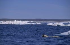 polar simning för björn royaltyfri fotografi
