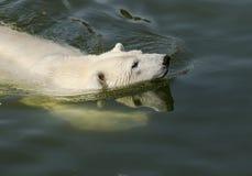 polar simning för björn Arkivbilder