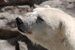 Polar Smile Royalty Free Stock Image