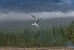 Polar tärna på flyg på skogbakgrunden Royaltyfria Foton