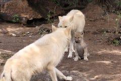 Polar varg Fotografering för Bildbyråer