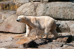 Polar white bear Stock Photography