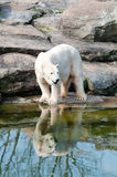 Polar white bear Royalty Free Stock Photo