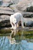 Polar white bear. At the Berlin Zoological Garden royalty free stock photo