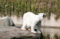 Polar white bear royalty free stock photos