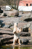 Polar white bear royalty free stock images