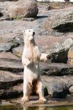 Polar white bear catch meat Stock Photos