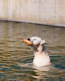 Polar white bear caught bread Stock Photos