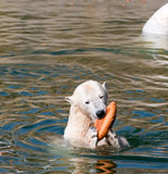 Polar white bear caught bread stock image